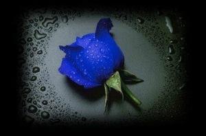 blue_rose_amid_drops_black_edges