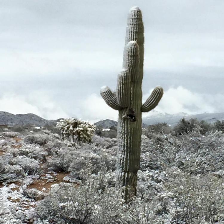 Snowy Cactus